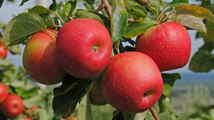 Яблоки способы снижения холестерина